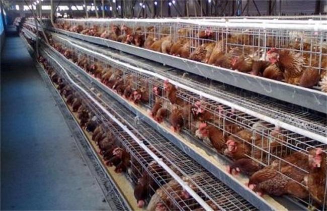 蛋鸡产蛋前饲养管理要点