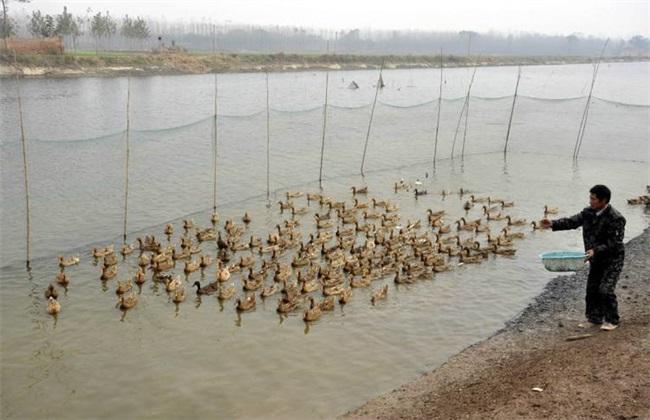 春季养鸭饲养管理要点