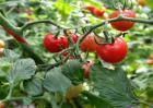 西红柿萼片干尖原因及防治方法