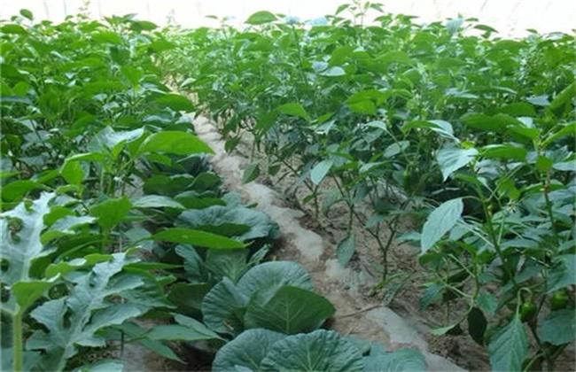 蔬菜套种原则及注意事项
