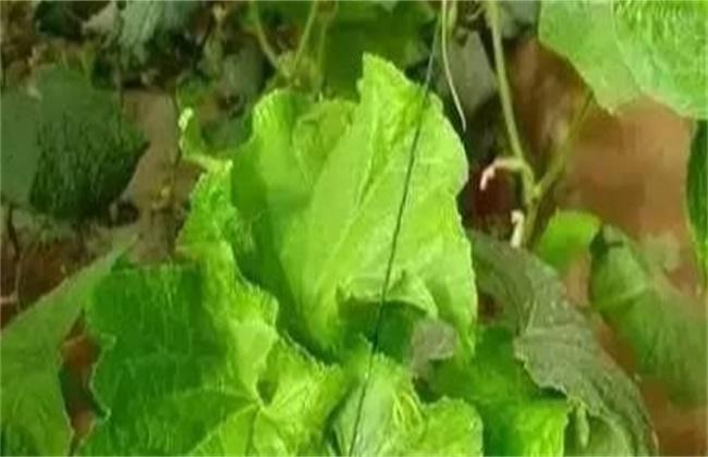 黄瓜龙头生长异常原因及防治措施