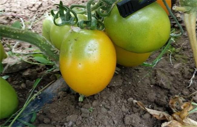 番茄黄皮果原因及预防措施