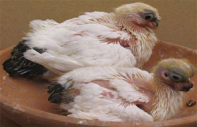 人工哺育乳鸽技术
