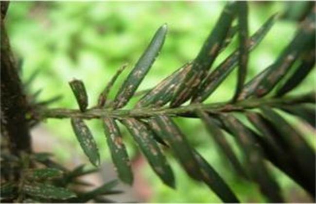 红豆杉黄叶原因及解决方法