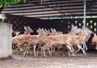 公鹿生茸期的饲养管理