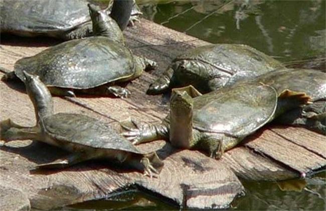 降低甲鱼养殖成本 甲鱼养殖