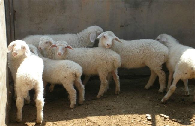 小尾寒羊配种 小尾寒羊