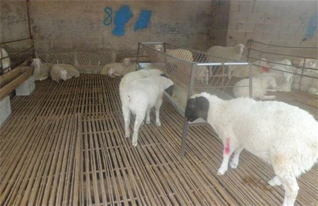 如何提高小尾寒羊羔羊成活率