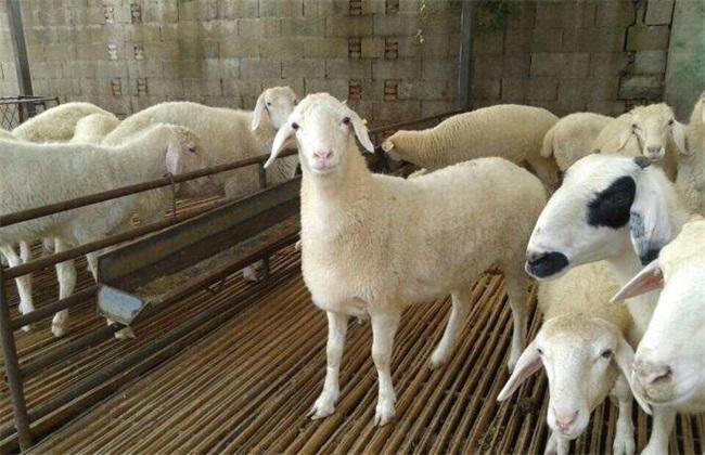 小尾寒羊羔羊成活率 小尾寒羊