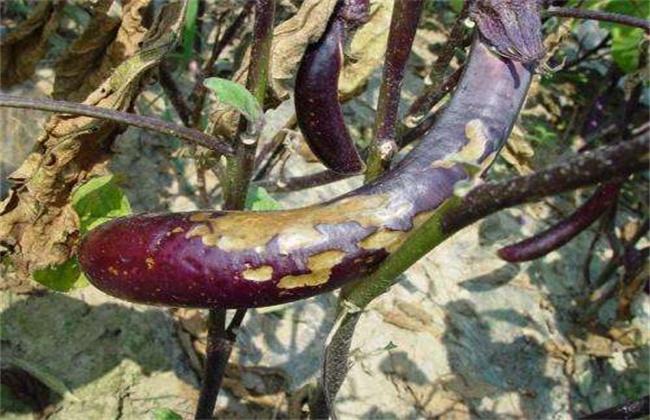 蔬菜发生早衰的原因及防治措施