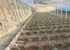 蔬菜定植后缓苗慢原因及解决方法