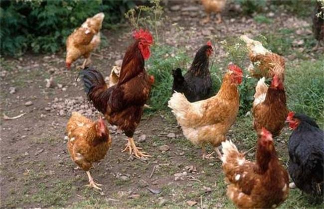 养鸡要做好什么准备