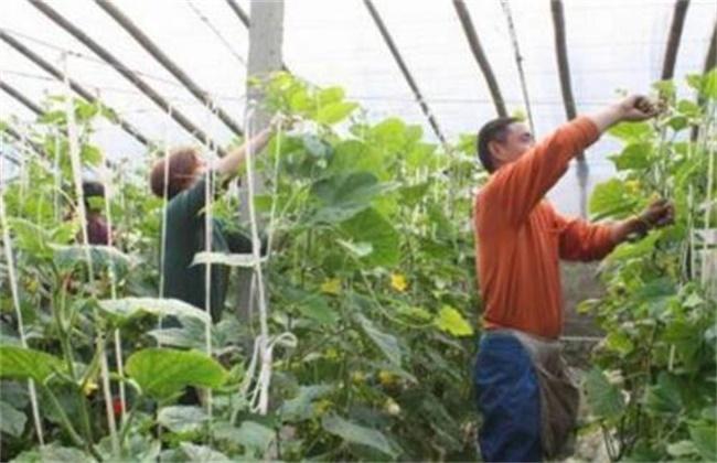 大棚蔬菜蘸花技巧和注意事项