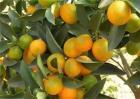 柑橘转色期返青原因及预防措施