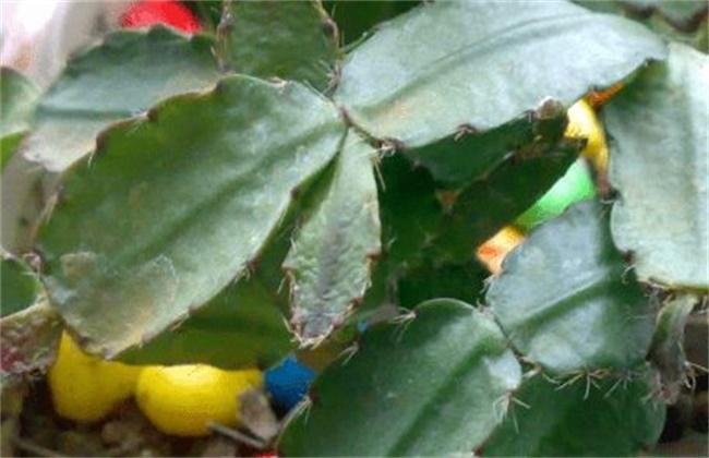 蟹爪兰叶子变薄变软原因及解决方法