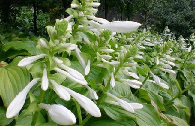 玉簪花 养殖方法 注意事项