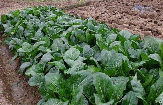 蔬菜根系养护 冬季蔬菜养护