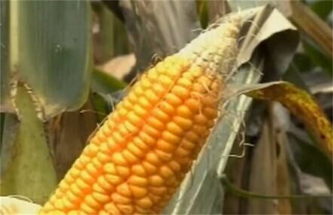玉米秃尖缺粒原因及预防措施