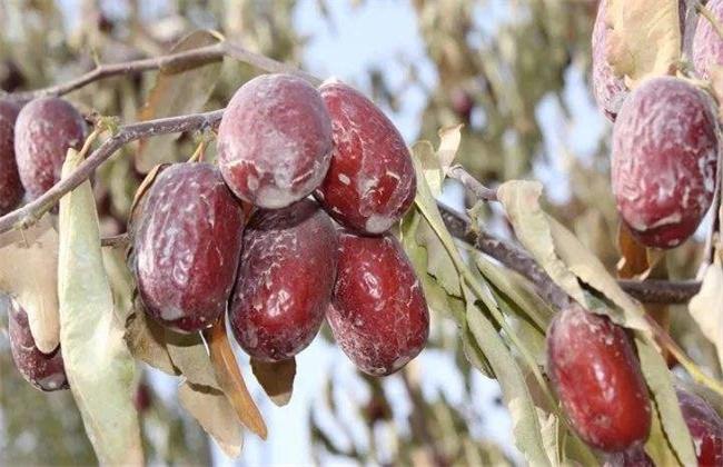 红枣烂果原因及防治措施