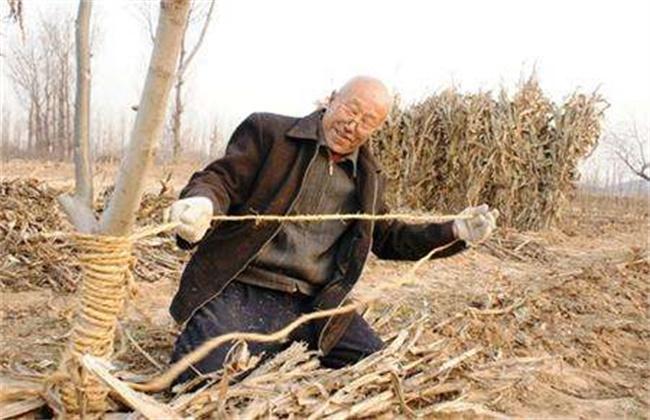 枣树采收后管理要点