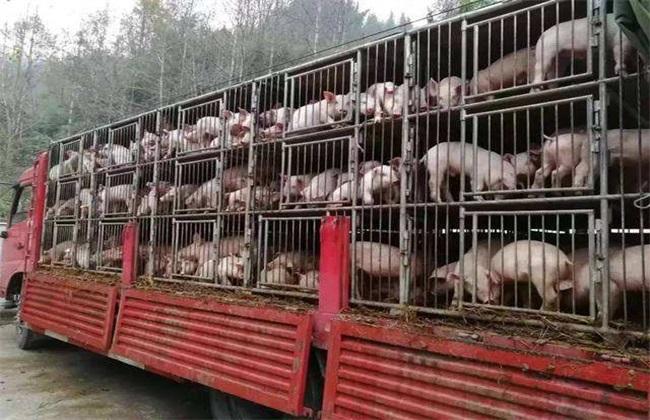 仔猪运输注意事项 仔猪运输