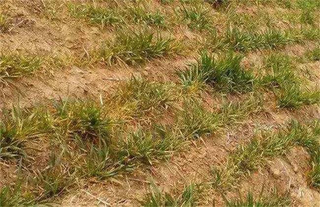 小麦苗黄原因及补救方法
