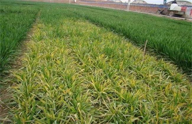 小麦苗期主要病害的防治措施