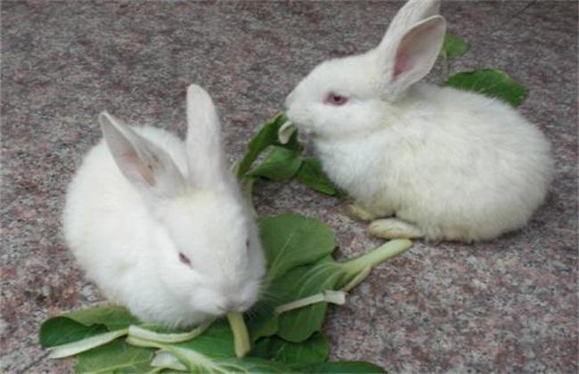 兔子喂养要注意什么