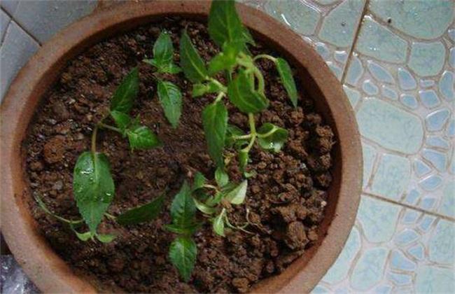 灯笼花的繁殖方法