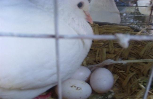 种鸽烂蛋的五个原因