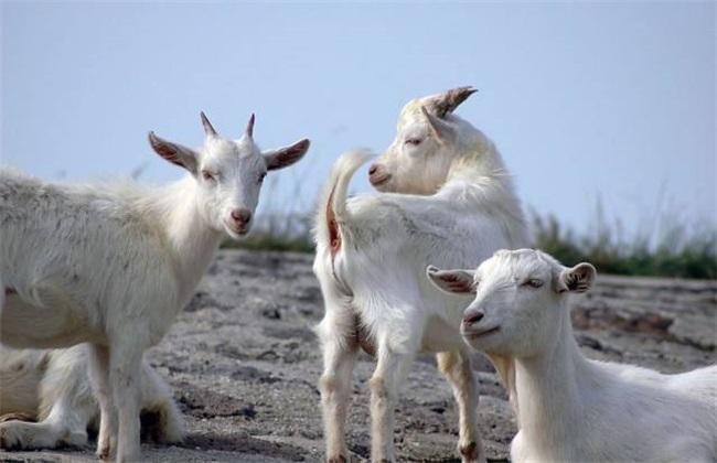 肉羊养殖赔钱 肉羊赔钱原因