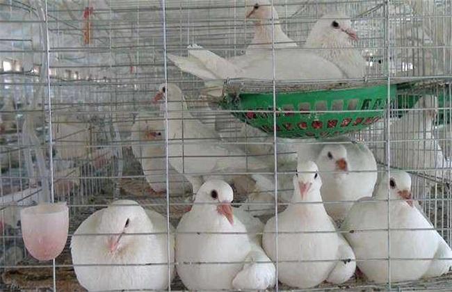 如何提高鸽子养殖效益
