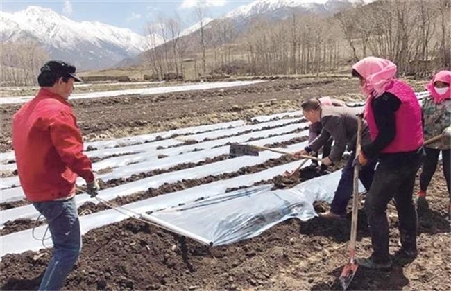 土豆种植产量不高该怎么办