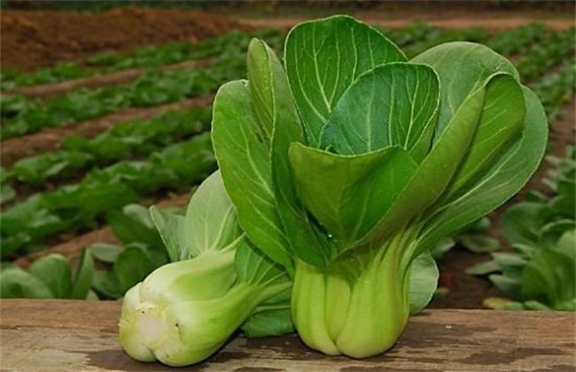 秋冬季该怎么种植小油菜