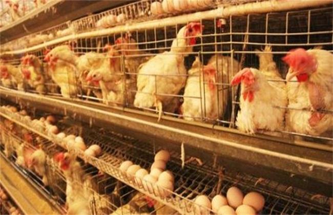 常用的养鸡方式有哪几种