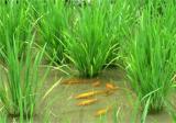 稻花鱼如何选种?怎么养殖更好
