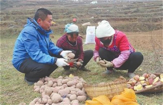 马铃薯切块种植技术