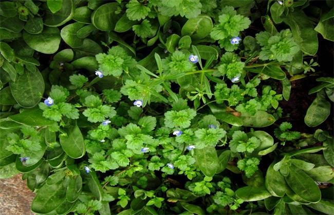 婆婆纳的种植方法 婆婆纳种植