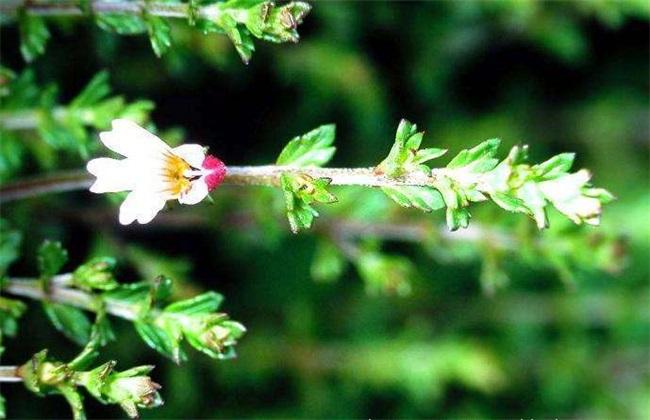 小米草的种植方法
