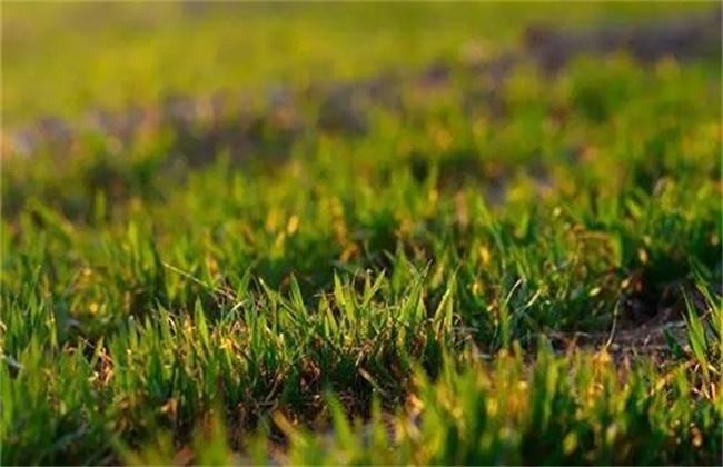 小麦苗弱苗黄是什么原因