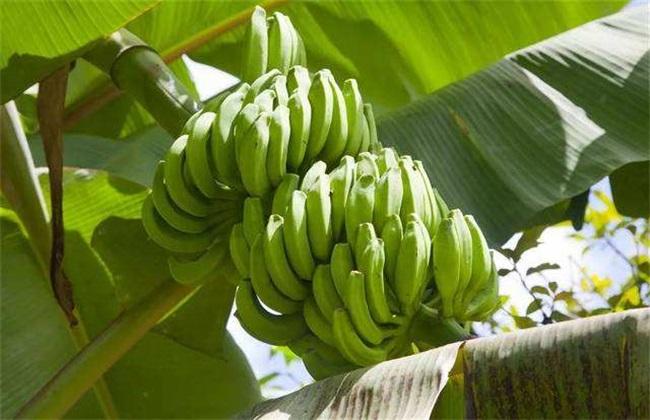 香蕉断蕾后管理 香蕉断蕾