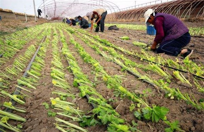 芹菜定植后的管理技术