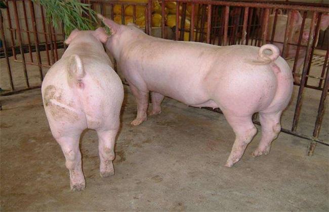 冬季仔猪的饲养管理