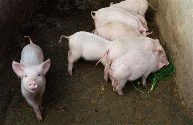 冬季仔猪饲养管理 冬季仔猪