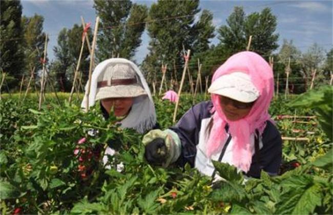 大棚西红柿该怎么授粉