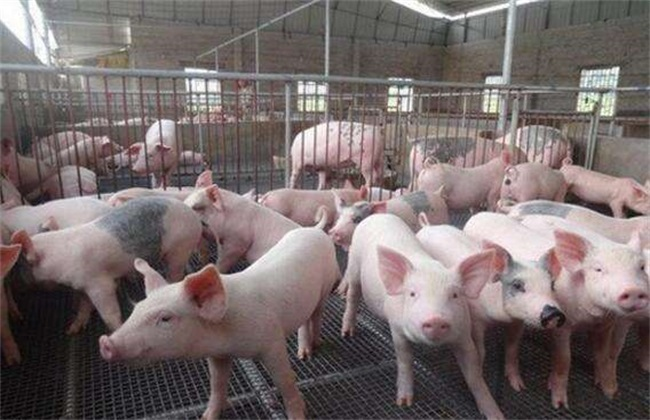 冬季养猪 增膘缓慢 原因
