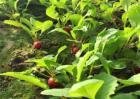 萝卜菜的种植方法