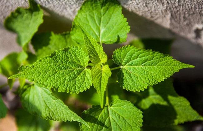 藿香的种植方法 藿香种植