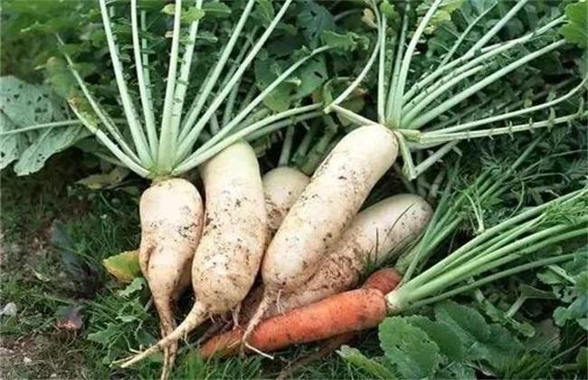 冬天适合种的菜 冬季蔬菜