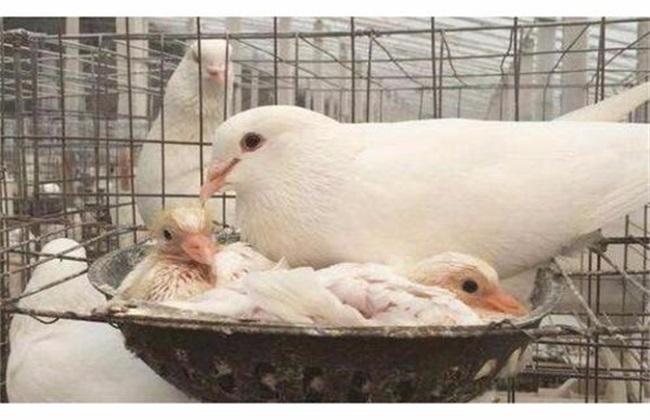 肉鸽那个品种好养